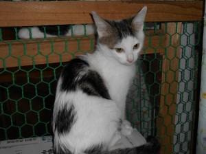 子猫白キジ1