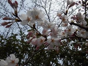 桜薄いピンク