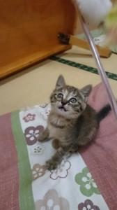 植村さん里親募集子猫⑨