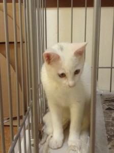 平野さん白猫里親さん探し20160818①黄頭にワンポイント