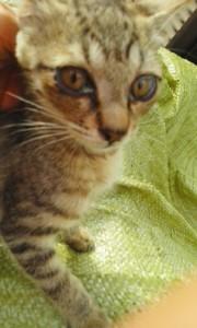 9月11日募集子猫①