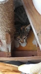 平野さん知人の母の子猫三毛