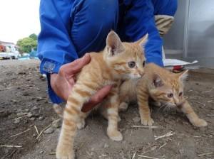 平野さん知人酪農家子猫茶トラ2匹①